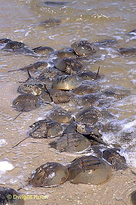 1Y47-168x  Horseshoe Crab - mating on beach at high spring tide -  Limulus polyphemus