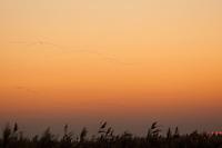 Gänsezug, Gänse, Wildgänse, Gans, Wildgans zieht über Boddenlandschaft, Ostsee, Sonnenuntergang, Abendstimmung, Abendrot, Abendröte, Vogelschwarm, sunset, sundown, evening atmosphere, geese, wild geese, goose, wild goose
