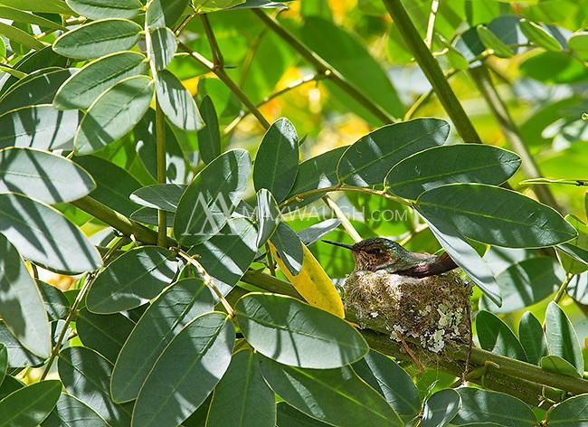 A scintillant hummingbird nests in a bush.