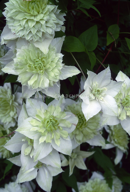 Clematis florida lsquoalba plena plant flower stock clematis florida alba plena double flowered white and flushed green climbing perennial vine mightylinksfo