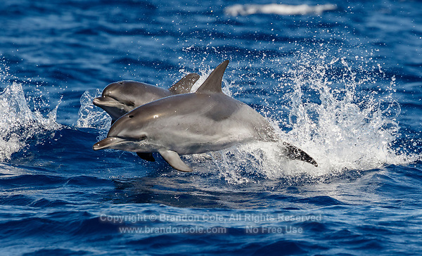 WQ70475-Dr. Atlantic Spotted Dolphins (Stenella frontalis), jumping out of water. This is a very active, gregarious species. Appearance varies greatly between different stocks throughout their geographical range, and based on age. In general, a calf is born unspotted, and as it matures spots develop and increase. Azores, Portugal, Atlantic Ocean.<br /> Photo Copyright © Brandon Cole. All rights reserved worldwide.  www.brandoncole.com