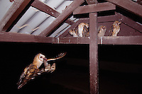 Barn Owl, Tyto alba, adult bringing mouse prey to young in nest, Willacy County, Rio Grande Valley, Texas, USA