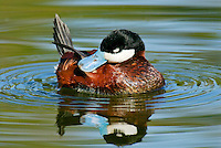 Ruddy duck (Oxyura jamaicensis) drake preening.