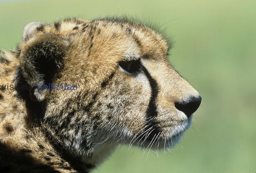 Cheetah ,Acinonyx jubatus,. Masai Mara Game Reserve, Kenya, Africa