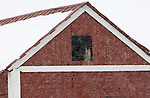 Great Horned Owl finds refuge in a barn during a winter storm in Colorado.