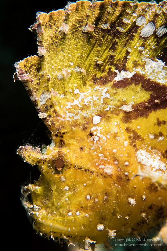Great Barrier Reef, Australia; portrait of a yellow leaf scorpionfish