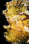 Great Barrier Reef, Australia; portrait of a yellow leaf scorpionfish