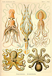 Gamochonia (Octopus), by Ernst Haeckel, 1904