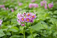 Maris Peer potatoes in flower with ladybird - Norfolk, June