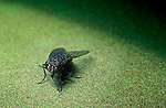 Cluster fly Pollenia sp
