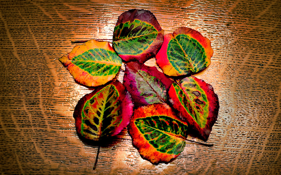 Fall leaves from an ornamntal fruit tree in Western PA on an antique quarter sawn Red Oak table on October 31, 2015