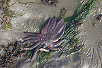 Sunflower Sea Star at low tide on the seashore of Olympic NP