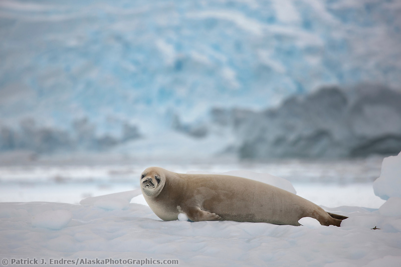 Crabeater seal on ice berg, Neko Harbor, Andvord Bay, Antarctica.