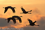 Sandhill cranes (Grus canadensis) flying at dawn, Platte river, Nebraska