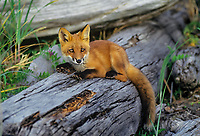 Young Red Fox (Vulpes vulpes) resting on coastal beach (drift logs), Katmai Coast, Alaska.