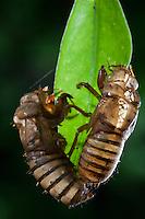 Periodical Cicada; Magicicada; shed exoskeletons; NY, near Bear Mt., Orange Co.