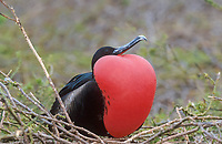 great frigatebird, Fregata minor, adult male with inflated, red gular pouch for courtship display, on its nest, Tower Island, Galapagos Islands, Ecuador, Pacific Ocean