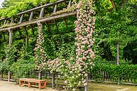 France, Loiret (45), Chilleurs-aux-Bois, château de Chamerolles et jardins de style renaissance, longue et haute pergola couverte de rosiers grimpants, rosiers lianes, glycines, vignes, ici, rosier 'Kew Rambler'