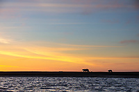 Polar bear sow and cub walk along a barrier island at sunset in the Arctic National Wildlife Refuge, Beaufort Sea, Arctic, Alaska.