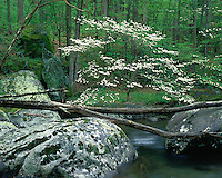 Dogwood tree in flower along the Middle Prong of the Little River; Great Smoky Mountains National Park, TN