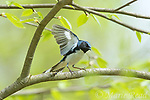 Black-throated Blue Warbler (Dendroica caerulescens) male in breeding plumage, wings raised, about to take flight, spring, Dryden, New York.