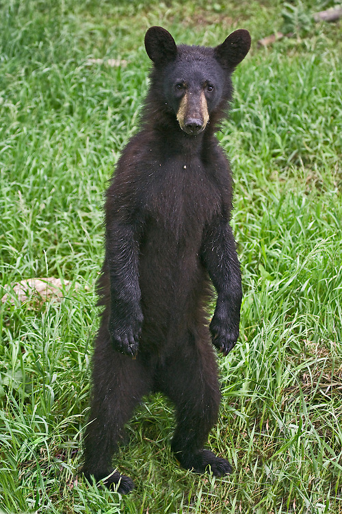 Junvenille Black Bear standing and watching