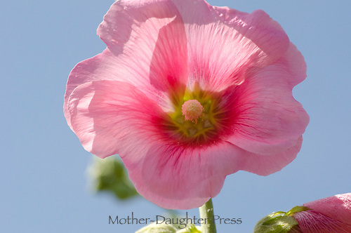 pink Hollyhock with backlighting in blue sky