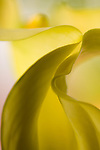 close-up of a yellow calla lily flower -commercial/editorial licensing for this image is available through: http://www.gettyimages.com/detail/200250575-001/The-Image-Bank