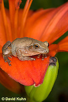 0808-0907  Spring Peeper Frog Climbing on Red Lily, Pseudacris crucifer (formerly: Hyla crucifer)  © David Kuhn/Dwight Kuhn Photography