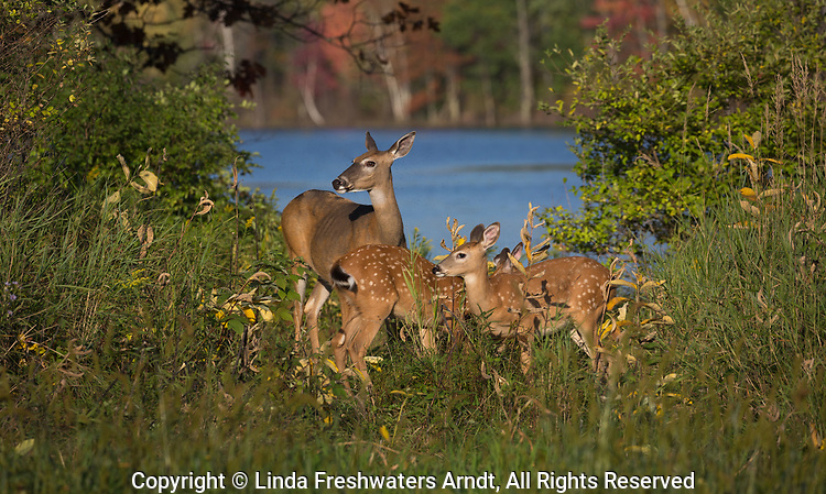 White-tailed doe and her fawns.