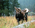 MOOSE<br /> ROCKY MOUNTAIN NATIONAL PARK,COLORADO