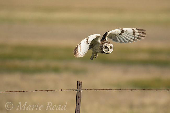 Short-eared Owl (Asio flammeus), adult male taking flight from fencepost, northern Utah, USA