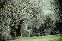 Olive harvest in Abruzzo, Italy