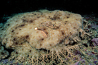 tasselled wobbegong, Eucrossorhinus dasypogon, Navy Pier, Exmouth, western Australia ( Indian Ocean )