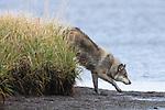 Gray Wolf. Izembek NWR, Alaska.