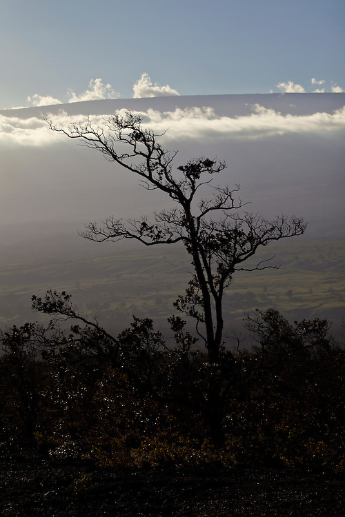 Lone tree silhoutte against Mauna Kea in Hawai'i Volcanoes National Park, Hawai'i, USA