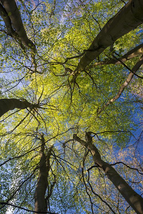 Mature spring Beech - Fagus sylvatica, Stoke Wood, Oxfordshire.