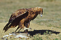 Golden Eagle (Aquila chrysaetos) with rabbit, Western North America.