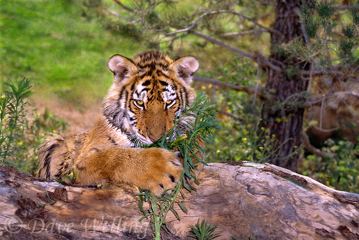 684089247 a captive siberian tiger cub panthera tigris altaicia lays on a large log and chews some green grass species is highly endangered native to the high steppe plateaus of central asia and this is a wildlife rescue animal