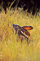 Black-tailed Jackrabbit (Lepus californicus).   Western U.S., May.