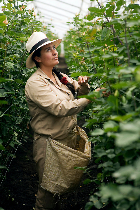 BOGOTA, COLOMBIA -- JANUARY 21:  A worker looks for roses ready for harvest in a greenhouse at Alpes Flowers  on January 21, 2007. ..(Photo by Dennis Drenner/Aurora).