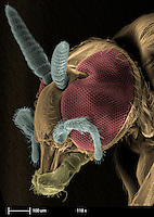 Scanning electron microscopy (SEM) of a black fly  (species Simulium ).  The magnification is 118x and the calibration bar is 100 um in length.