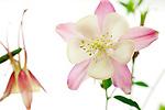 The sex organs of the Columbine flower.