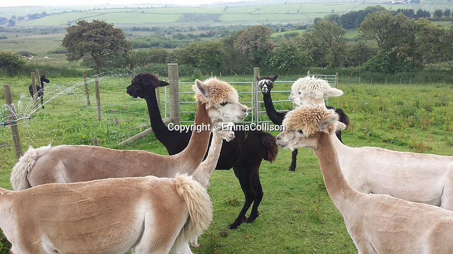 BNPS.co.uk (01202 558833)<br /> Pic: EmmaCollison/BNPS<br /> <br /> Cute, cuddley...tasty!<br /> <br /> Freshley fleeced Alpaca's.<br /> <br /> A Cornish farmer has come up with the latest in tasty treats...Alpaca pies. <br /> <br /> Alpaca breeder Emma Collison has started selling the unusual snacks from her farm on Bodmin moor in Cornwall. <br /> <br /> Alpaca, pasties, rolls and pies are now flying off the shelves as people develop a taste for the South American Camelid's lean, low fat &amp; low cholesterol meat. <br /> <br /> Emma believe's that to keep a healthy population of alpacas you must make them useful in as many ways as possible, so along with the pies and pasties she also sells duvets, pillows and fleeces made with the alpacas extremely fine wool.