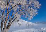 Yellowstone National Park, Wyoming:<br /> Frost covered cottonwood trees in the Lamar Valley