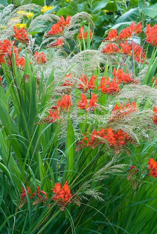 Crocosmia Lucifer With Stipa Calamagrostis Plant