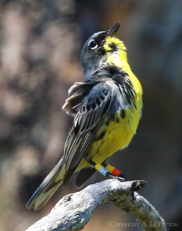 Adult male Kirtland's warbler singing