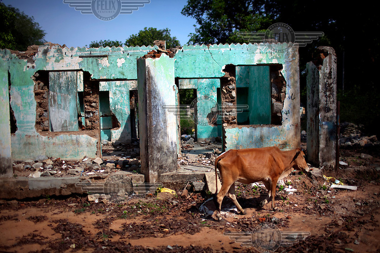 A cow grazes amid the bombed out remains of a building owned by the National Mineral Development Corporation (NMDC), an Indian state-owned mining enterprise, in Bhansi village, Dantewada district. Naxalite (Maoist) insurgents destroyed the complex of buildings in protest of the mining company's forcible acquisition of tribal peoples' agricultural land. /Felix Features