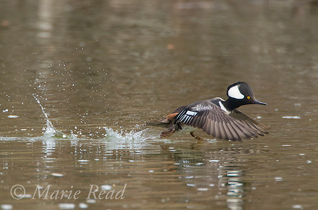 Hooded Merganser (Lophodytes cucullatus),  male in breeding plumage taking flight from water, New York, USA.