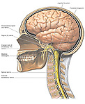 This medical exhibit features an overview of the anatomy of the brain, cranial nerves, and the cervical vertebrae as seen from a cut-away view.